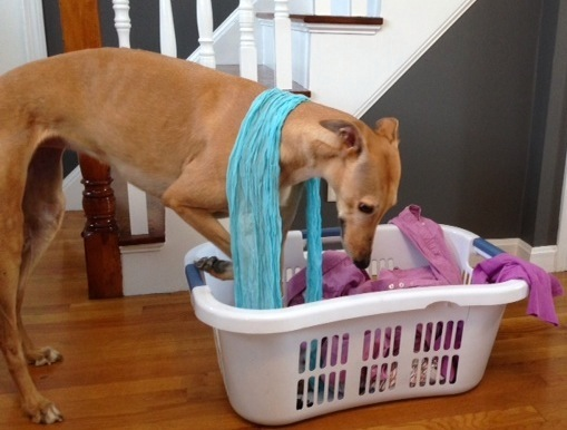 Frugal Hound helps out with the laundry