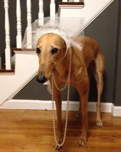 Bride Hound Losing Interest in Posing w/Veil