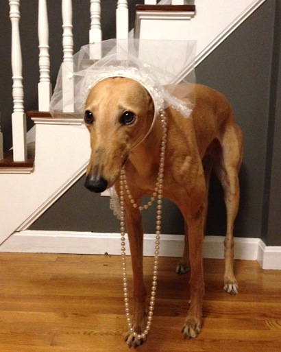 Bride Hound Losing Interest in Posing w/Veil