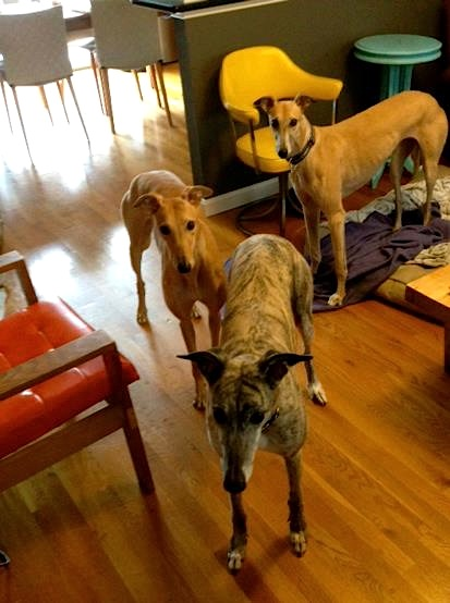 Greyhound babysitting party!