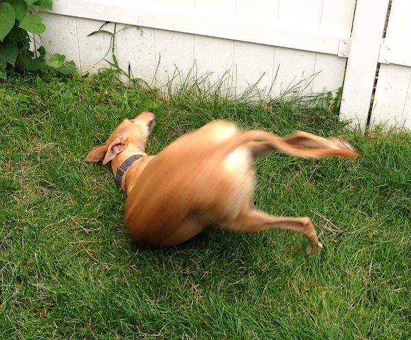 Flings self onto neighbor's grass in glee