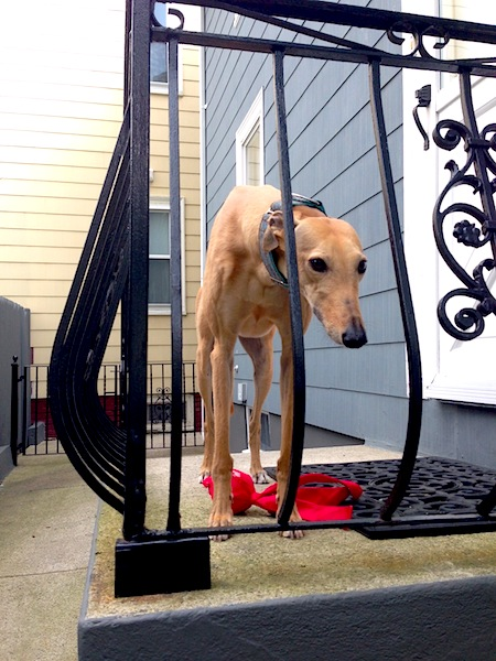 Evidence of lack of intellect: Frugal Hound stuck on the porch. Couldn't figure out she should go in the other direction.