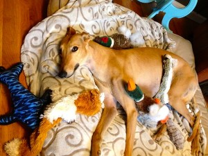 Frugal Hound surrounded by her toys. Notice the stuffing she's pulled out of the duck...