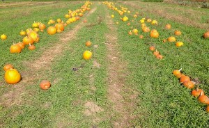 At a pumpkin patch last October