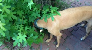 Frugal Hound's favorite part of walks: plant sniffin'