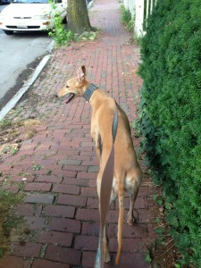 Frugal Hound on the brick sidewalks of Cambridge