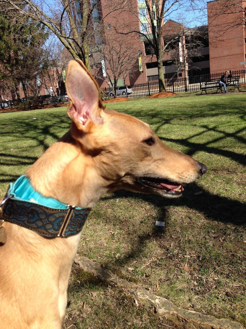 hound-ears
