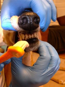 Brushing Frugal Hound's fangs