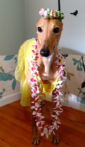 Gratuitous Frugal Hound hula photo