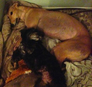 Frugal Hound snuggling with a guest dog