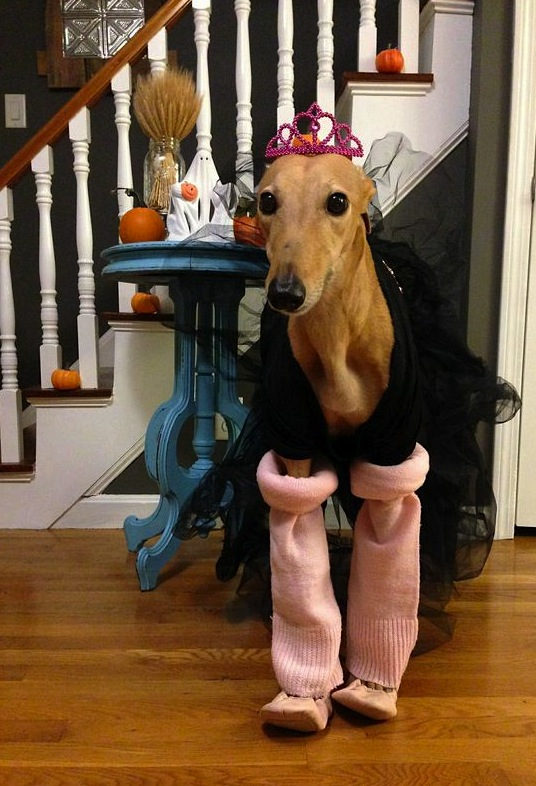Frugal Hound in her ballerina Halloween costume!