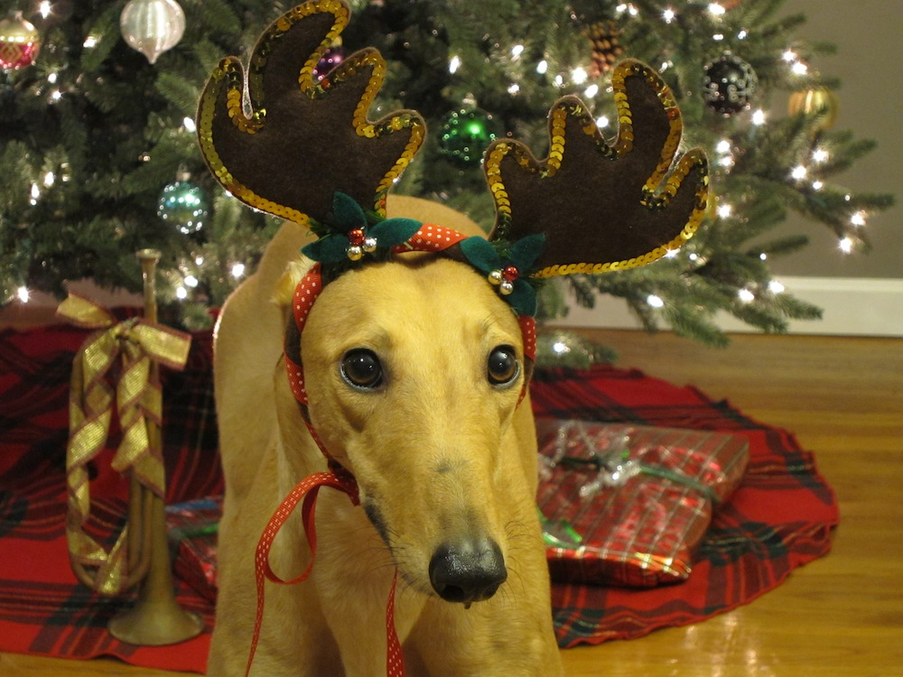 Frugal Hound the Christmas reindeer!