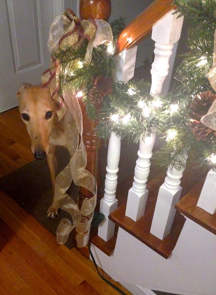 A sweet Christmas hound peeks up