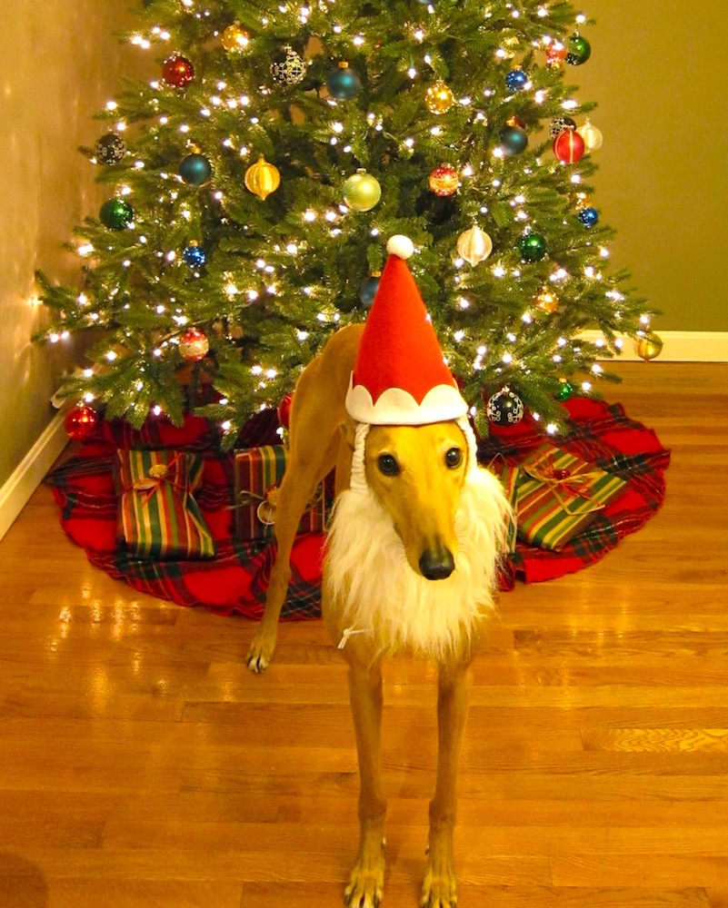 Santa paws! Poor Frugal Hound...