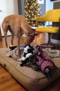 Frugal Hound relishing her Christmas toys