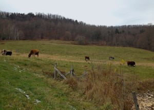 Cows in VT