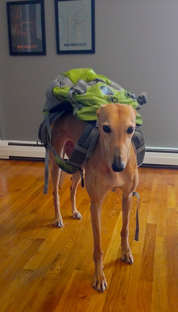 Frugal Hound with all her worldly possessions on her back