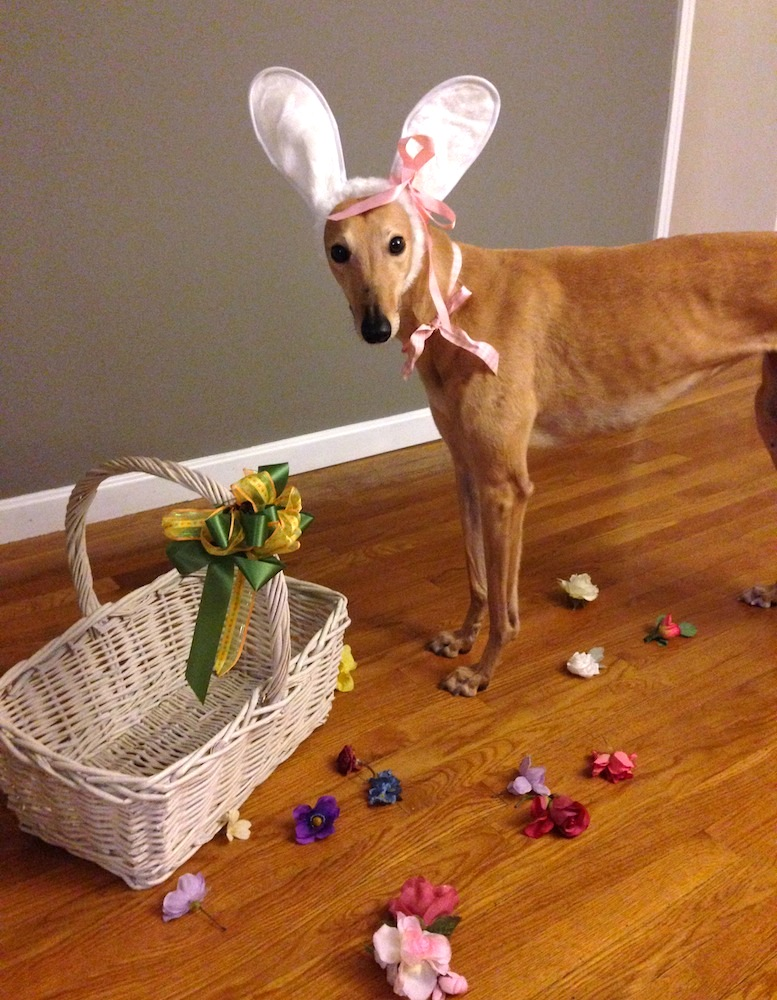 Frugal Hound engaged in her hobby of being the Easter Bunny (she did not approve of this message/costume)