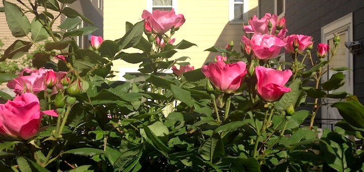 Our neighbor's gorgeous flowers peeking over the fence