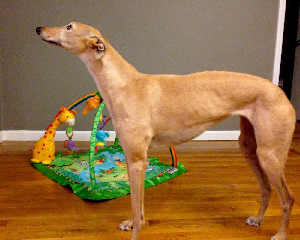 Frugal Hound scopes out the activity mat... looks kinda like a greyhound toy...