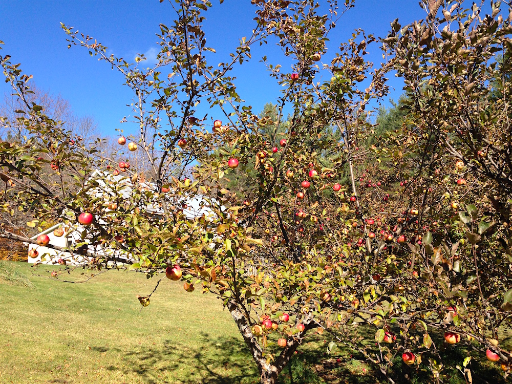 One of the apple trees in the yard