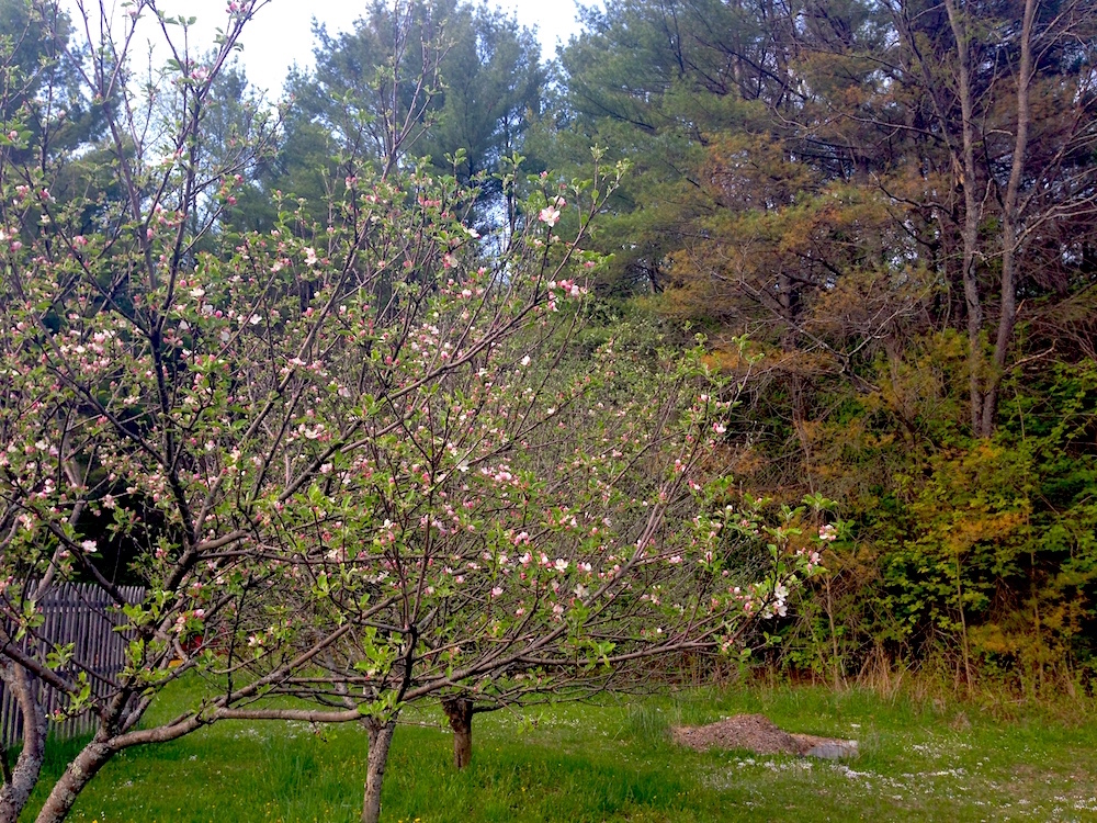 Our apple trees in blossom!