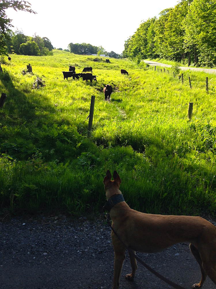 Frugal Hound scopes out our neighbor's cows