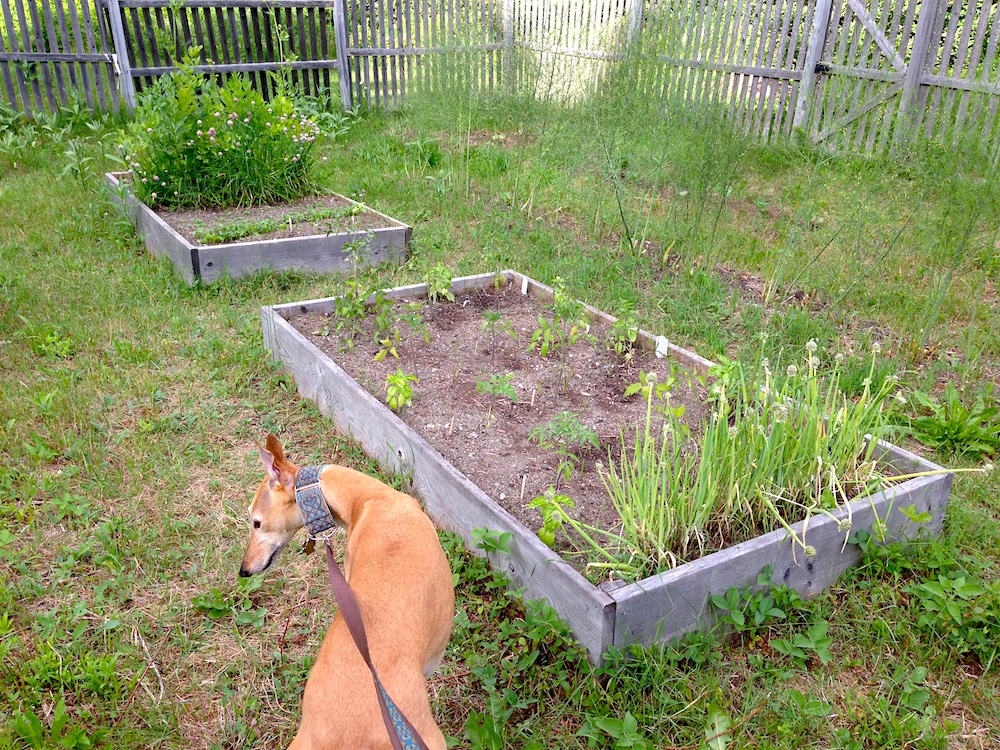 Frugal Hound scopes out the veggie garden