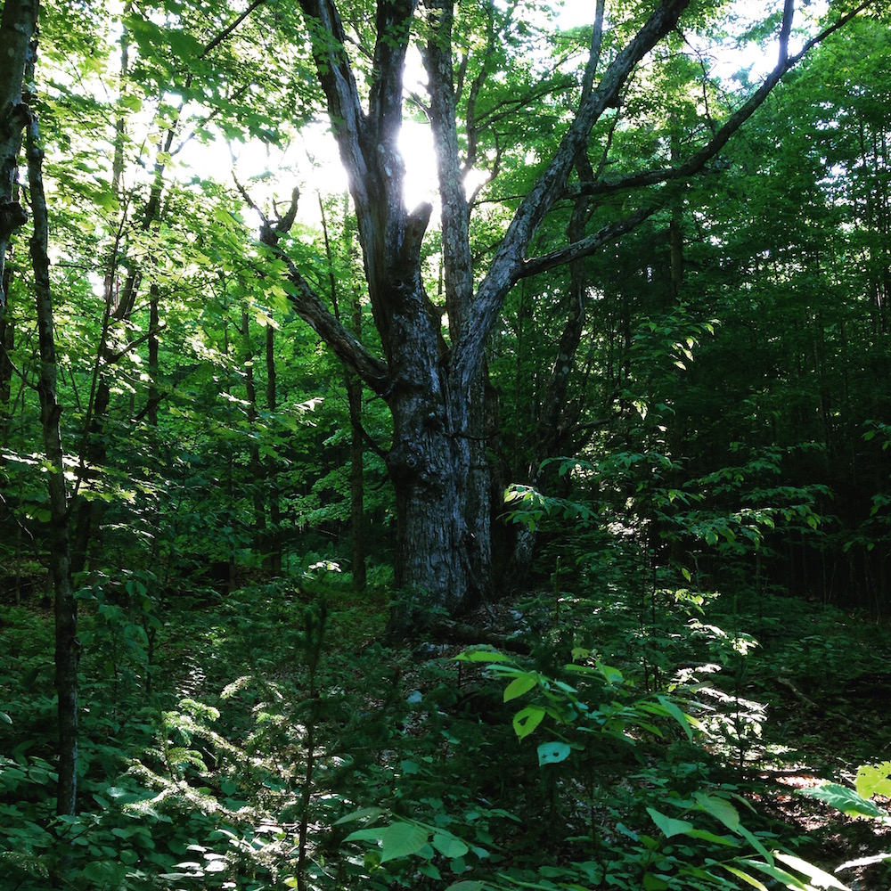 Love this ancient maple in our woods