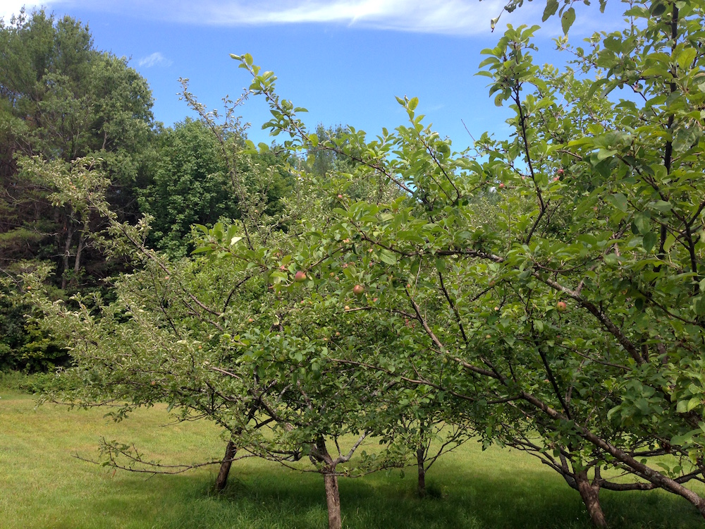 Hoping to much apples from our trees this fall!