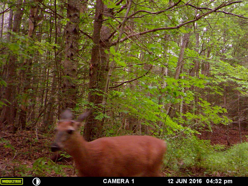 A deer captured on our wildlife camera!