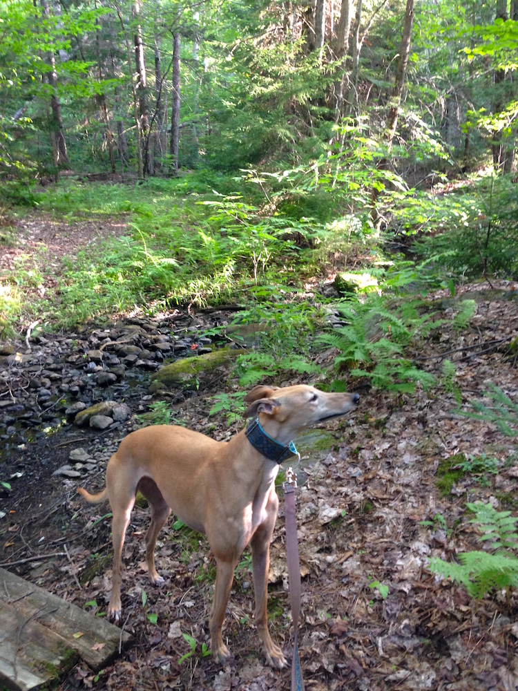 Frugal Hound sniffs the air on a hike