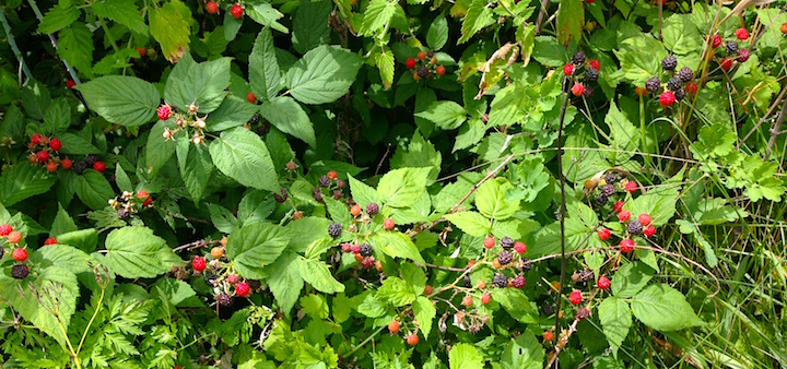 Black raspberries in our garden!