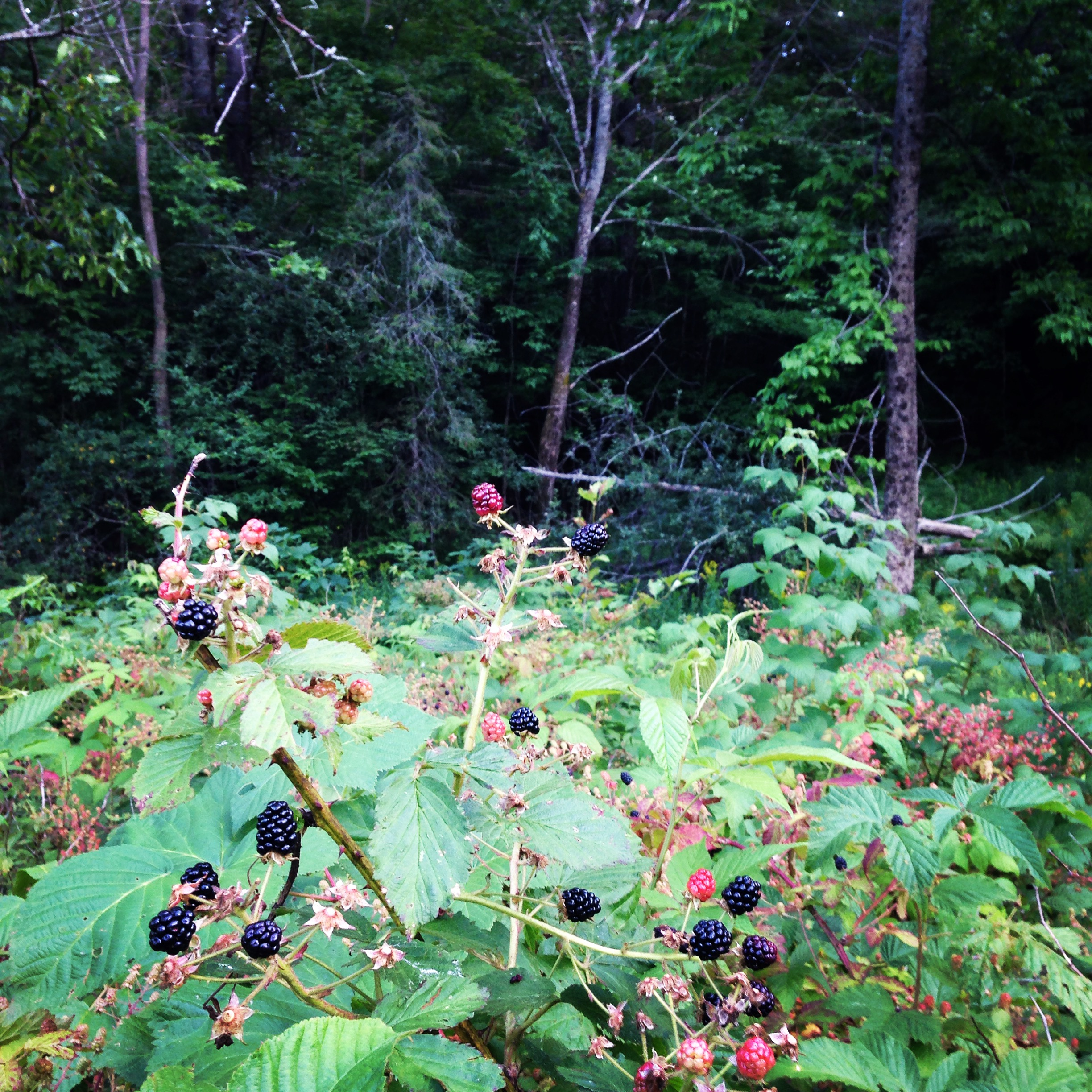 blackberries_land_summer
