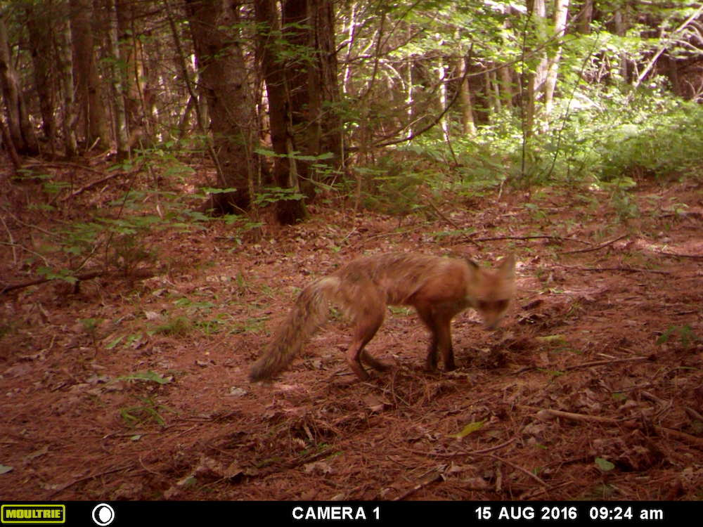 Fox on the cam