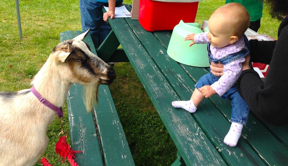 Fall festival goat