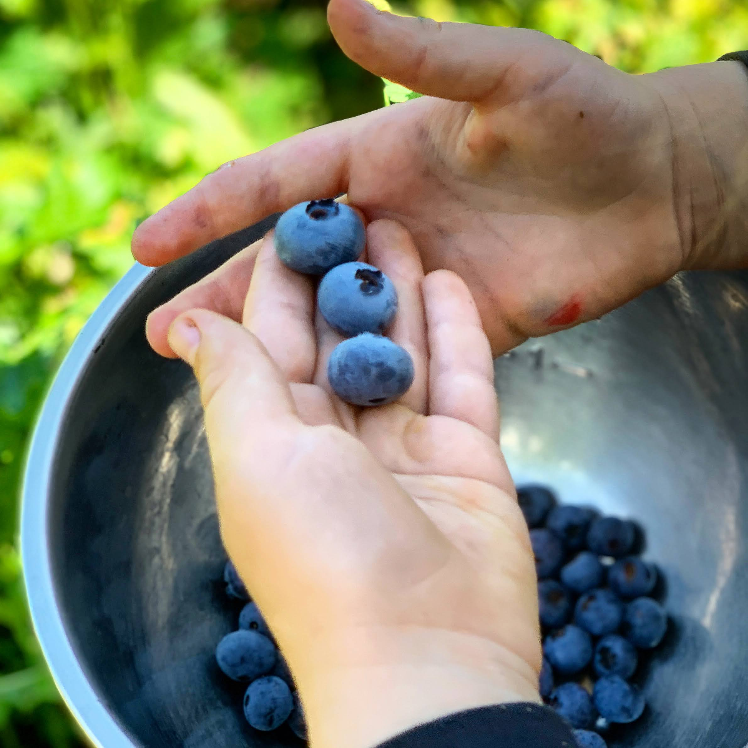 This Month On The Homestead: In The Garden, Picking Berries, Preserving Beans 6