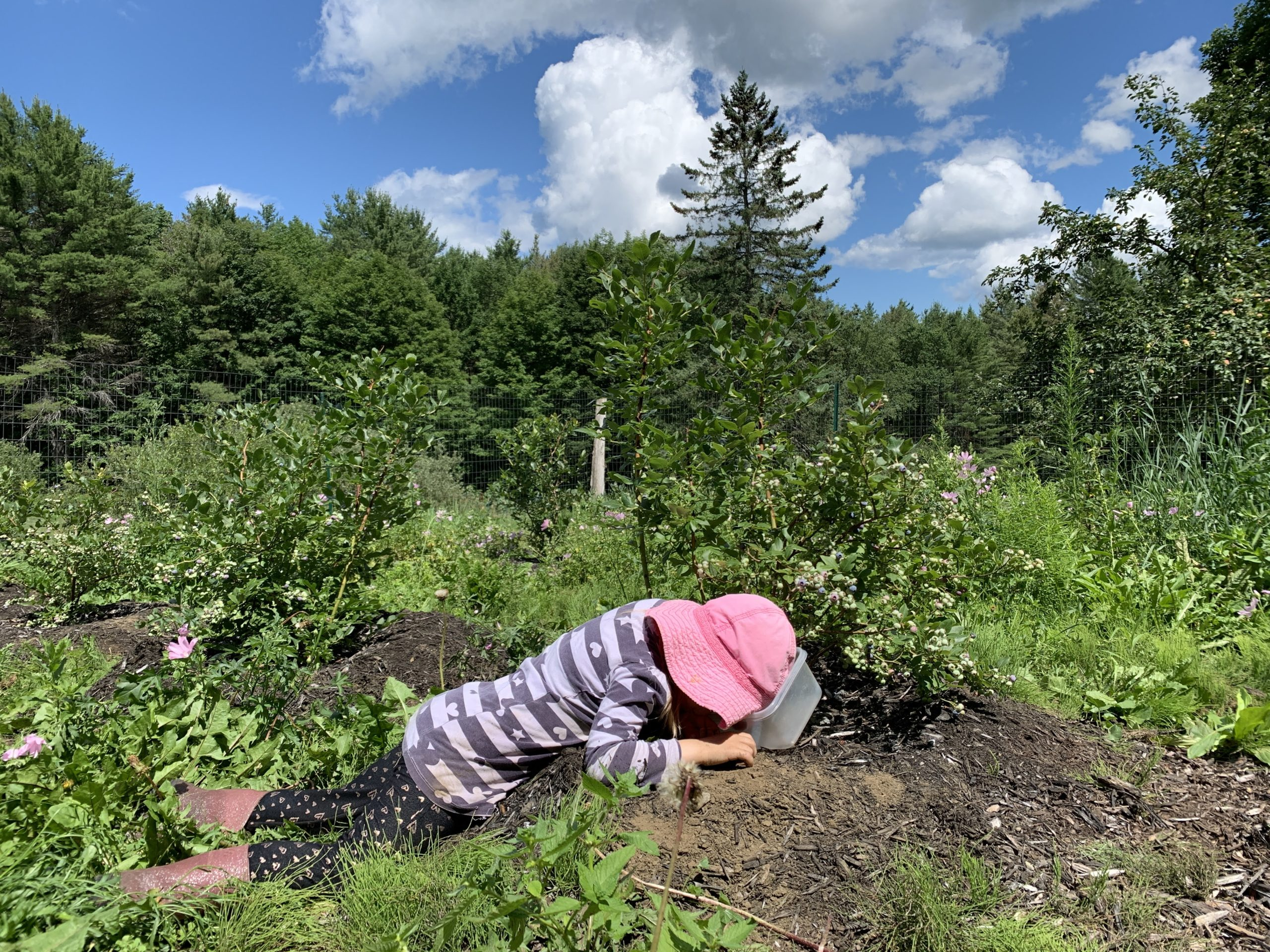 This Month On The Homestead: In The Garden, Picking Berries, Preserving Beans 5
